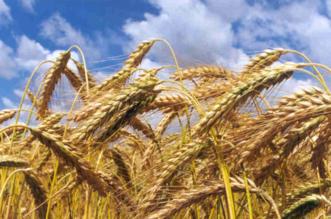 Campos de trigo de Salamanca